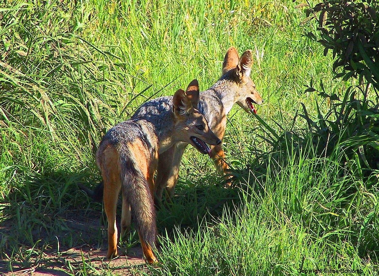 Tansania, Tarangire Nationalpark, Schabrackenschakale