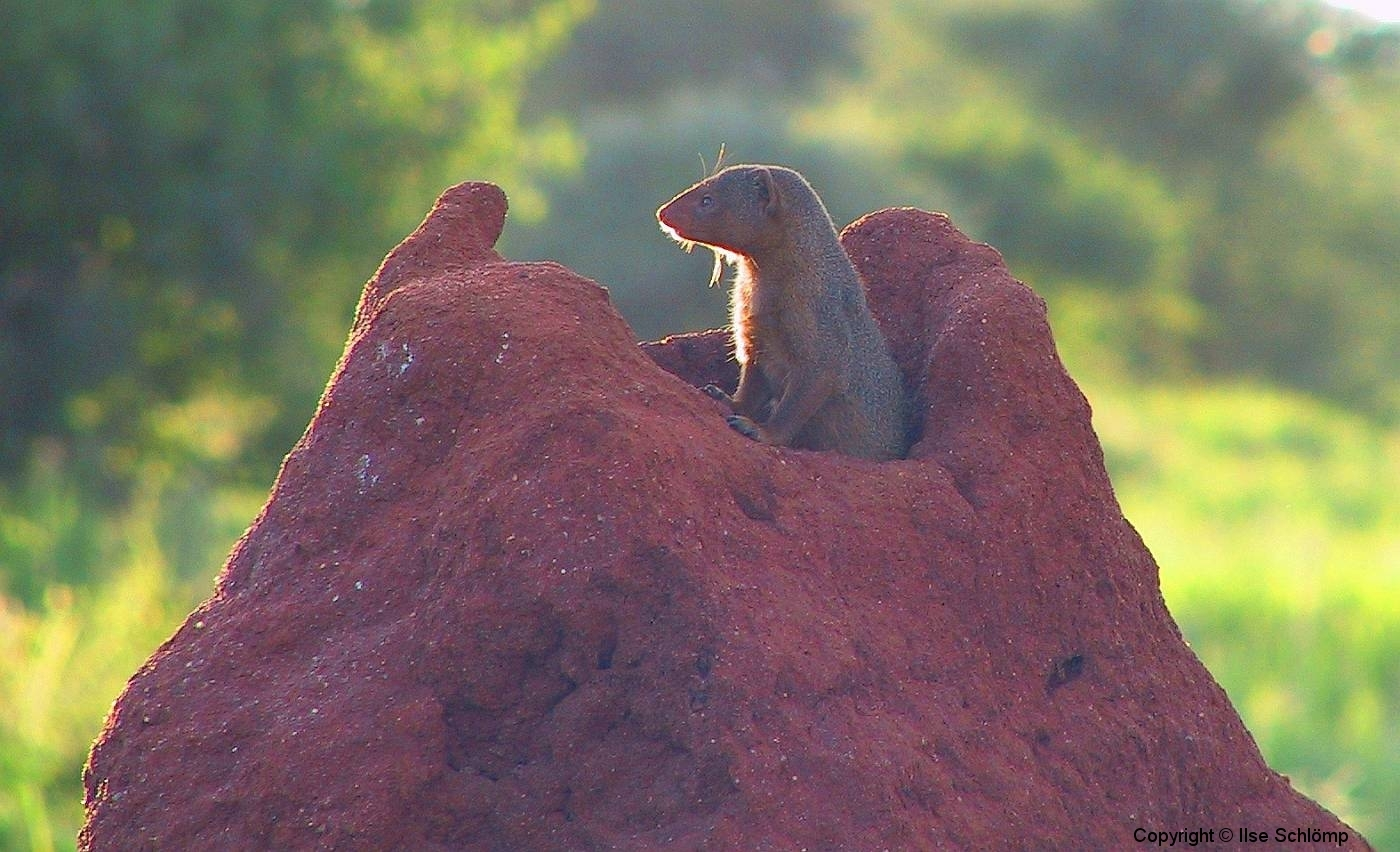 Tansania, Tarangire Nationalpark, Mungo schaut aus einem Termitenhügel