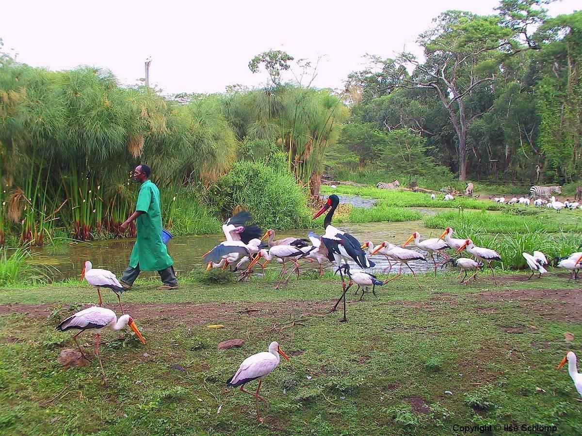 Tansania, Arusha, Sattelstorch und Nimmersatte