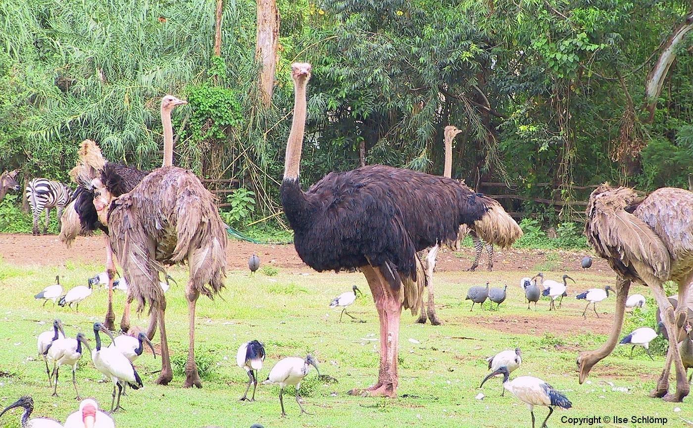Tansania, Arusha, Afrikanische Strauße