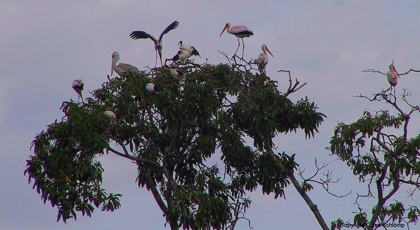 Tansania, Arusha, Nimmersatte und Pelikan auf einem Baum