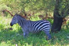Tansania, Lake Manyara Nationalpark, Zebra