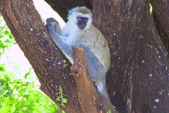 Tansania, Lake Manyara Nationalpark, Grüne Meerkatze