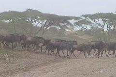 Tansania, Serengeti, Staub liegt in der Luft bei der Gnuwanderung