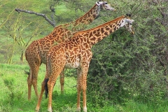 Tansania, Serengeti, Giraffen mit wunderschöner Fellzeichnung