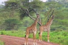 Tansania, Serengeti, Giraffen