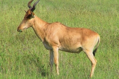 Tansania, Serengeti, Antilope