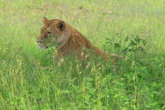 Tansania, Serengeti, Löwin gut versteckt im hohen Gras
