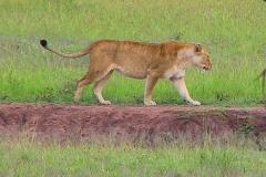 Tansania, Serengeti, Löwin