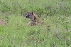 Tansania, Serengeti, Tüpfelhyäne im hohen Gras