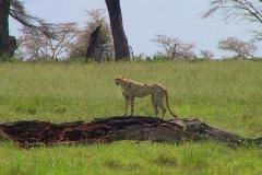 Tansania, Serengeti, Gepard