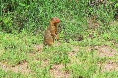 Tansania, Serengeti, Mungo