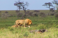 Tansania, Serengeti, Löwe