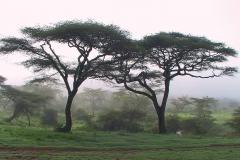Tansania, Serengeti, Zwei Akazien im Frühnebel