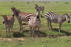 Tansania, Serengeti, Neugierige Zebras