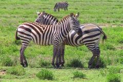 Tansania, Serengeti, Zebraliebe