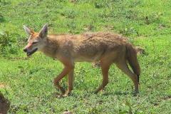 Tansania, Serengeti, Afrikanischer Goldwolf