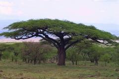 Tansania, Serengeti, Wunderschöne ausladende Akazie