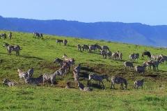 Tansania, Zebras im Ngorongorokrater