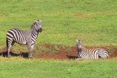 Tansania, Im Ngorongorokrater, Zebras