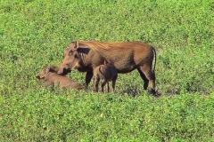Tansania, Im Ngorongorokrater, Warzenschweine