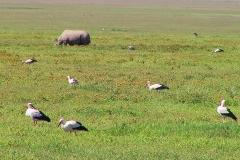 Tansania, Im Ngorongorokrater, Nashorn und Weißstörche