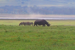 Tansania, Ngorongorokrater, Nashorn