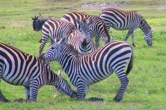 Tansania, Ngorongorokrater, Übermütige Zebras
