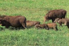Tansania, Ngorongorokrater, Warzenschweinfamilie
