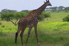 Tansania, Tarangire Nationalpark, Giraffe