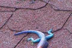 Tansania, Tarangire Nationalpark, Agamen