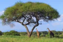Tansania, Tarangire Nationalpark, Giraffen