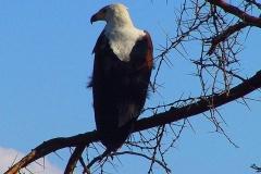 Tansania, Tarangire Nationalpark, Weißkopfseeadler