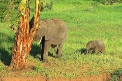 Tansania, Tarangire Nationalpark, Elefanten
