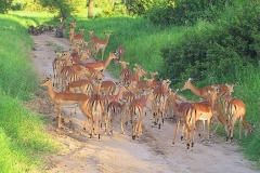 Tansania, Tarangire Nationalpark, Impalas, Im Hintergrund Paviane