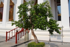 Thailand, Bangkok, Loha Prasat Tempel, Jasminstrauch