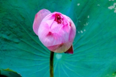 Thailand, Hua Hin, Centara Grand Beach Resort, Lotus