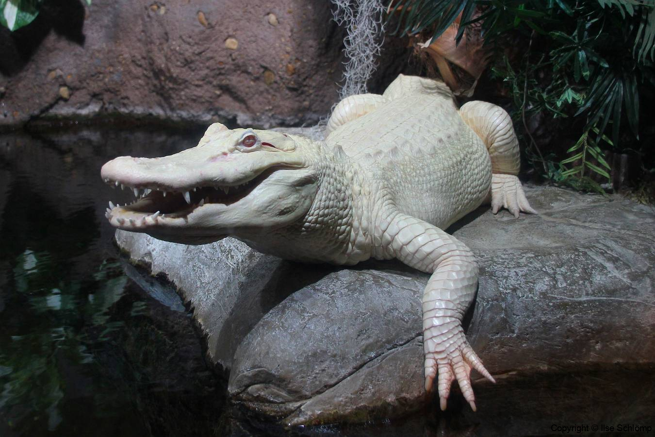 USA, Georgia, Atlanta, Georgia Aquarium, Albino Krokodil