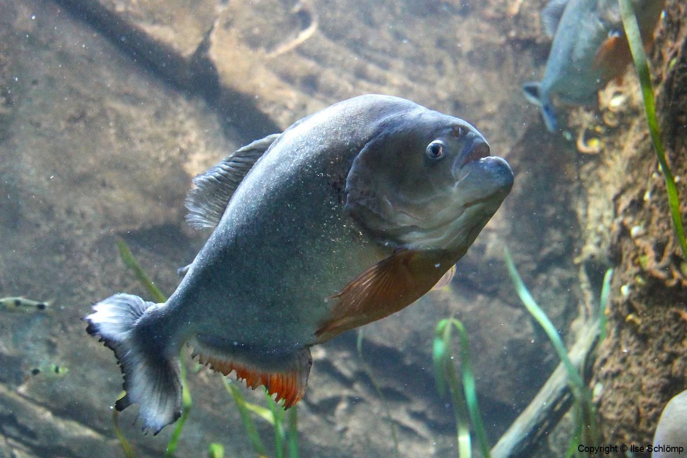 USA, Georgia, Atlanta, Georgia Aquarium, Piranha