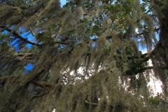 USA, South Carolina, Boone Hall Plantage, Spanisches Moos