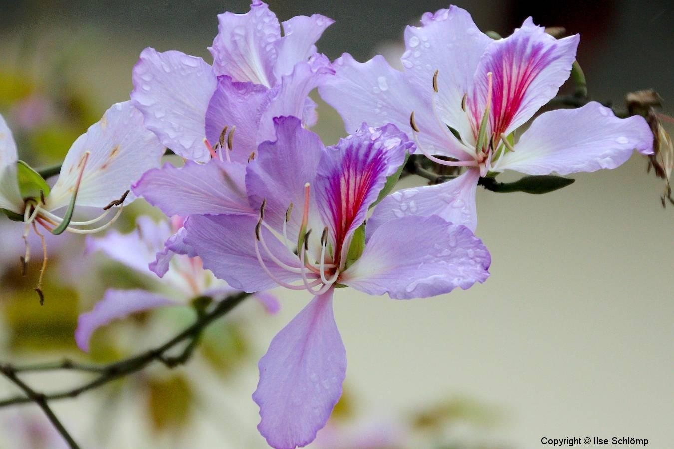 Vietnam, Hanoi, Orchideenbaum
