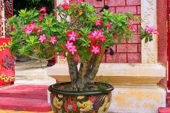 Hoi An, Wüstenrose (Impala-Lilie)