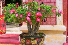 Hoi An, Wüstenrose (Adenium)