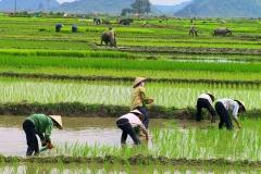 Arbeit im Reisfeld