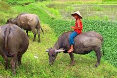 Arbeitspause für die Wasserbüffel