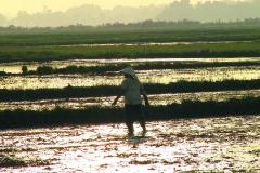 Abendstimmung im Reisfeld